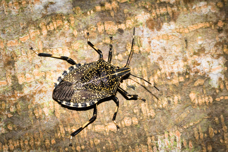 shieldbug: This is a photo of one kind of stinkbug, was taken in XiaMen botanical garden, China.