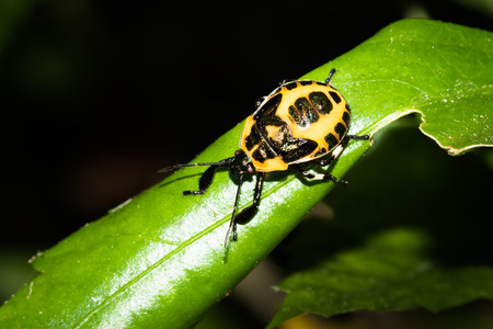 This is a photo of one kind of stinkbug, was taken in XiaMen botanical garden, China.
