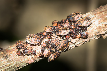 biont: This is a photo of some stinkbug larvae, was taken in XiaMen botanical garden, China. Stock Photo