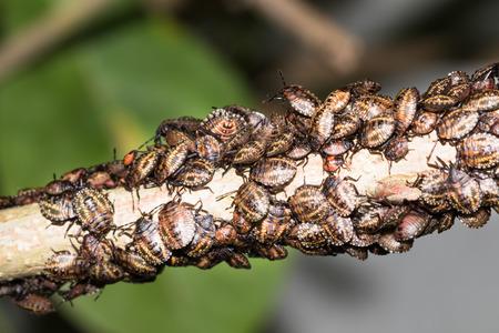 shieldbug: This is a photo of some stinkbug larvae, was taken in XiaMen botanical garden, China. Stock Photo