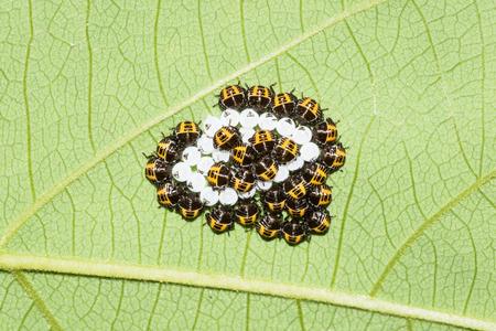 biont: This is a photo of some stinkbug larvae, was taken in XiaMen botanical garden, China. Stock Photo