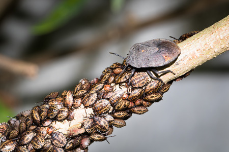 This is a photo of some stinkbug larvae, was taken in XiaMen botanical garden, China. Stock Photo