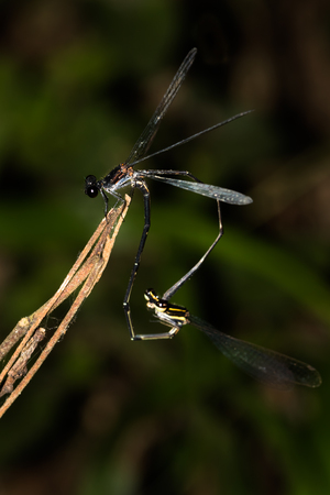 biont: This is a photo of mating damselfly