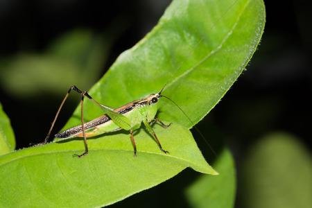 grig: one kind of hopper, was taken in XiaMen botanical garden, China.