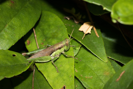 one kind of hopper, was taken in XiaMen botanical garden, China.
