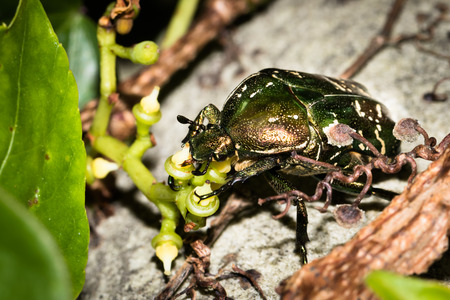 coleoptera: This is a photo of one kind of cockchafer, was taken in XiaMen botanical garden, China.