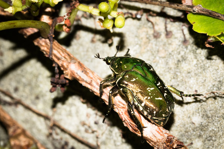 biont: Close up to a cockchafer