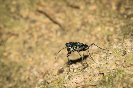This is a photo of a tiger beetle, was taken in XiaMen botanical garden, China.