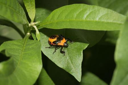 Close up to a stinkbug