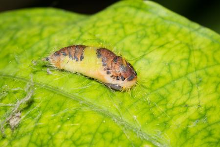 biont: Close up to a caterpillars pupa