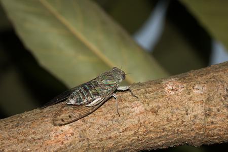 one kind of cicada