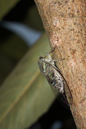 biont: one kind of cicada