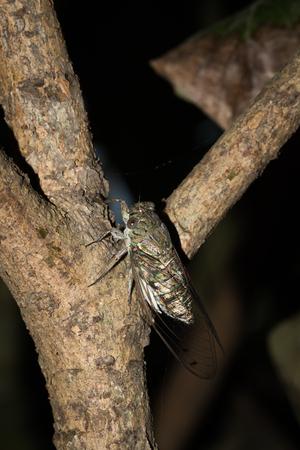 cicada: one kind of cicada