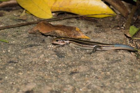 lizard in XiaMen botanical garden, China.