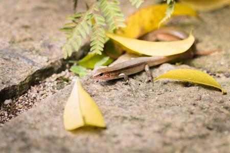 biont: lizard in XiaMen botanical garden, China.