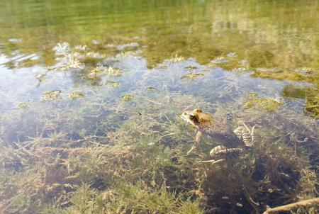 frog at pond 版權商用圖片 - 86962325