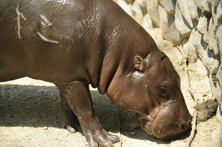 nose: Baby hippo in Thailand  Stock Photo