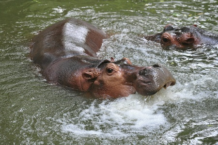 nose: Hippopotamus playing in water