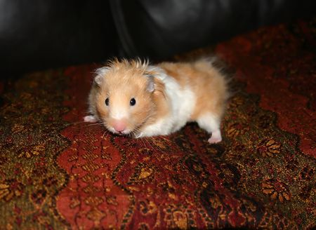 close up of hamster on couch Stock Photo