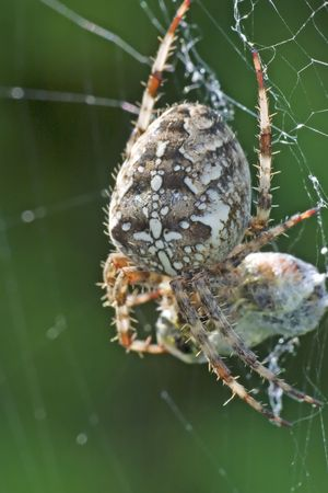 recently: spider with recently caught prey on green background Stock Photo