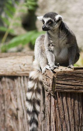 Lemur at the zoo relaxing in the sun Reklamní fotografie