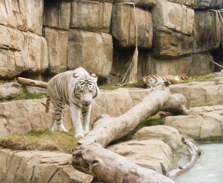 white tiger in captivity walking towards camera