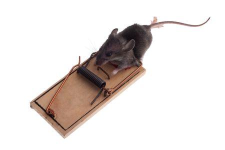 piege souris: souris mortes dans le pi�ge de la souris isol� sur blanc