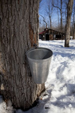 bucket and tap in maple tree with sugar shack in the background