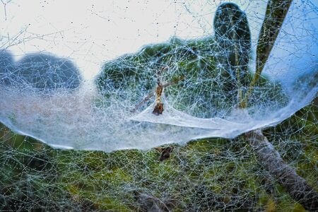 Spider webs in the trees 版權商用圖片