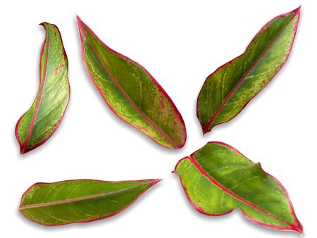 Codiaeum - variegatum on a white background , many styles Stock fotó