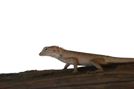 Brown lizard on a piece of wood