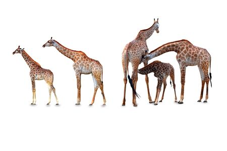 Giraffe family on a white background,with clipping path
