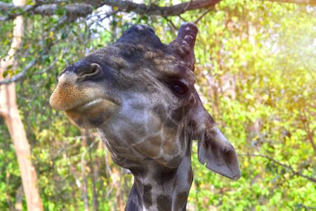 Giraffes do pretty face Food is chewed in the mouth