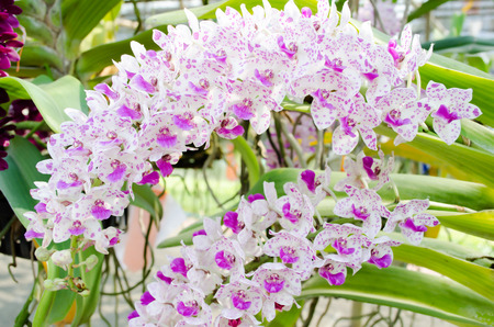 blotched: orchid background,The scientific name: Rhynchostylis retusa