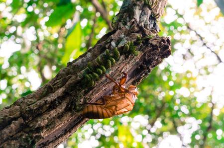 cicada bug: The shell of cicada on a tree