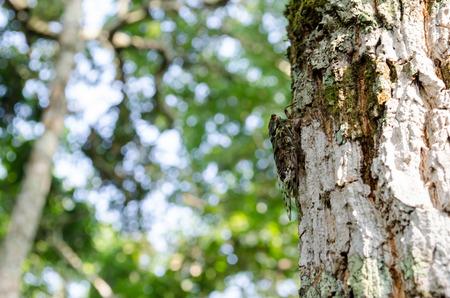 soft   focus: The cicada on a tree,soft focus
