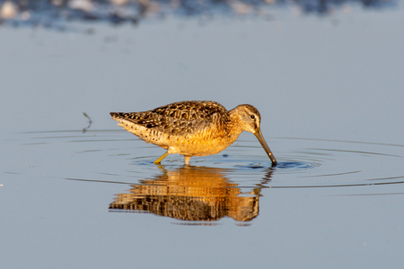A Long-billed Dowitcher stands peacefully in the calm waters at sunset.