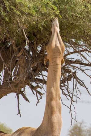 Dromedary camels (Camelus dromedarius) standing and reaching trees in the United Arab Emirates desert sand.