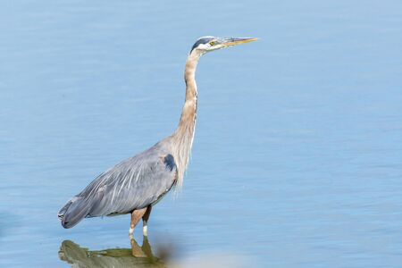 Great Blue Herons face in the sunshine close up standing wading in the calm waters in Canada looking and hunting for a fish (ardea herodias).
