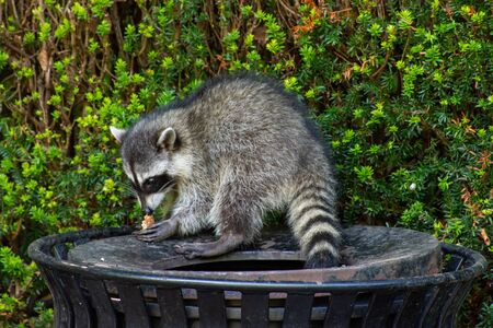 Raccoons (Procyon lotor) eating garbage or trash in a can invading the city in Stanley Park, Vancouver British Columbia, Canada. Banco de Imagens