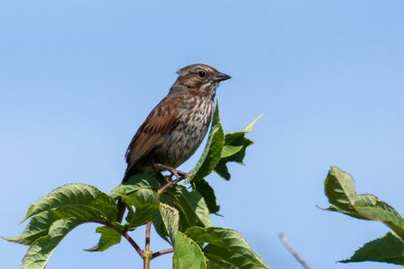 A Song Sparrow (Melospiza melodia) perched in a tree with blue skyin British Columbia, Canada. Reklamní fotografie