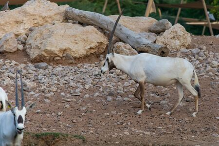 A arabian oryx (Oryx leucoryx)  critically endangered resident of the Arabian Gulf stands in the hot desert sand near a water hole in Al Ain, United Arab Emirates. 免版税图像