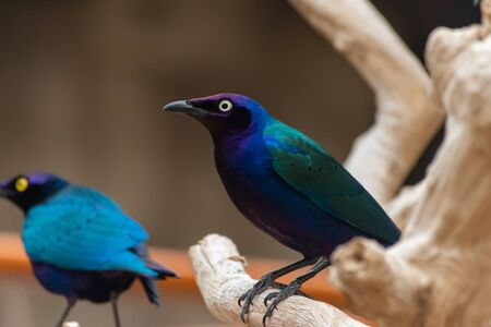 Close up of a purple and green Asian glossy starling bird (Aplonis panayensis) perched on a dry branch with its mate behind. 版權商用圖片