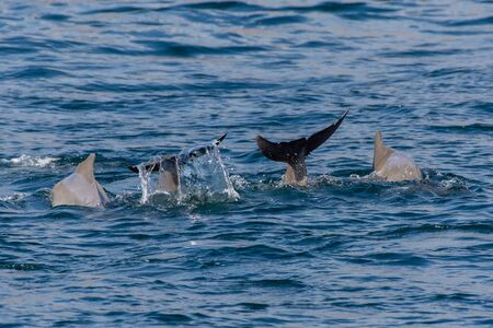 Indo-pacific humpback dolphin family (sousa chinensis) showing tail fin in Musandam, Oman near Khasab in the Fjords jumping in and out of the water by Dhow Boats. Фото со стока