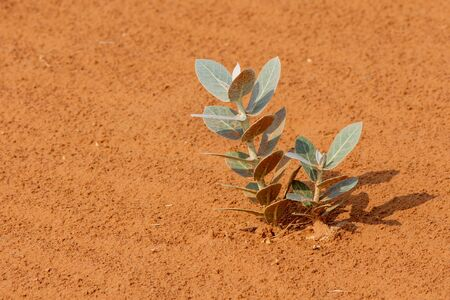 Desert Flower (Sodom's Apple) leaves growing out of the sand dunes at sunset in the United Arab Emirates.
