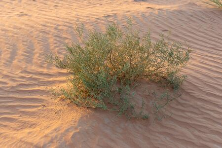 Desert at sunrise brings out bold glowing colored sand making a great desert landscape in the United Arab Emirates with green desert plants.