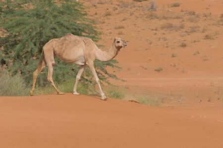A dromedary camels (Camelus dromedarius) walking acorss the desert sand in the United Arab Emirates.
