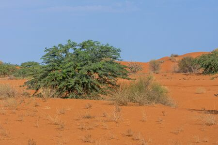 A lone green desert tree sits among small shrubs in the patterned and textured orange sand with a blue sky background in the United Arab Emirates.