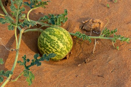 Desert Squash (Citrullus colocynthis) (Handhal) in the sand in the United Arab Emirates (UAE).