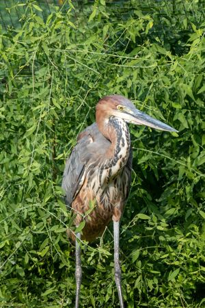 A Goliath heron (Ardea goliath), also known as the giant heron crouched in the grass. Foto de archivo
